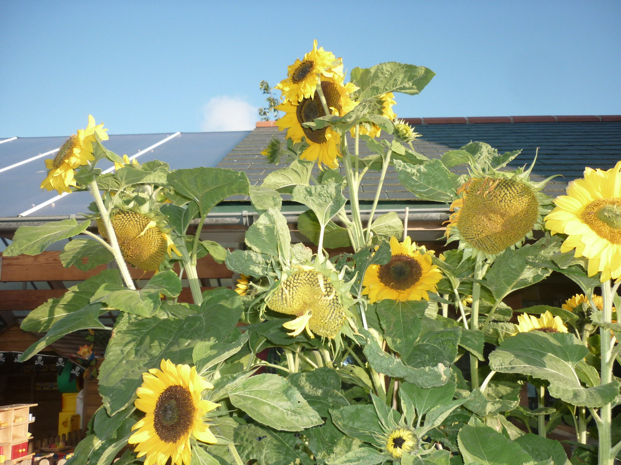 Sunflowers grown from seed